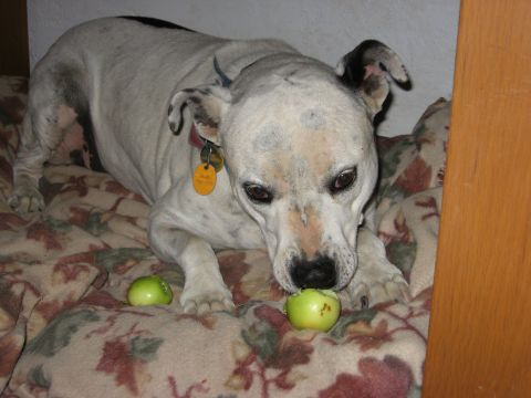 Piper Steals Apples from Back Yard