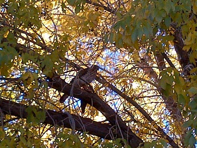Speaking of endings, this hawk outside my office building made final work of the bird it caught.